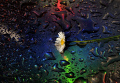 daisy, water drops,drops, flowers, nature wallpaper