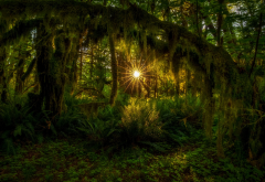 tree, moss, olympic national park, usa, nature wallpaper
