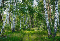 nature, summer, forest, tree, birch, grass wallpaper