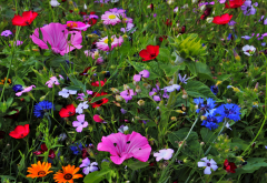 flowers, wild flowers, nature wallpaper