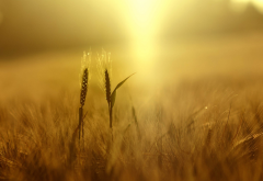 wheat, plants, nature, field, depth of field, yellow, spikelets, sunlight wallpaper