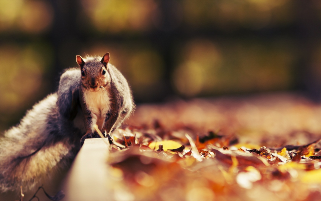 1920x1080 pix. Wallpaper squirrel, animals, autumn, leaf