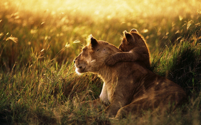 1920x1080 pix. Wallpaper lion, lion baby, grass, field, animals
