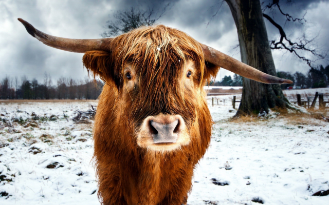 1920x1200 pix. Wallpaper nature, animals, cows, horns, snow, winter, trees