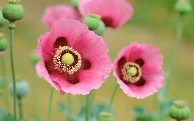 3200x2000 pix. Wallpaper flowers, nature, poppy