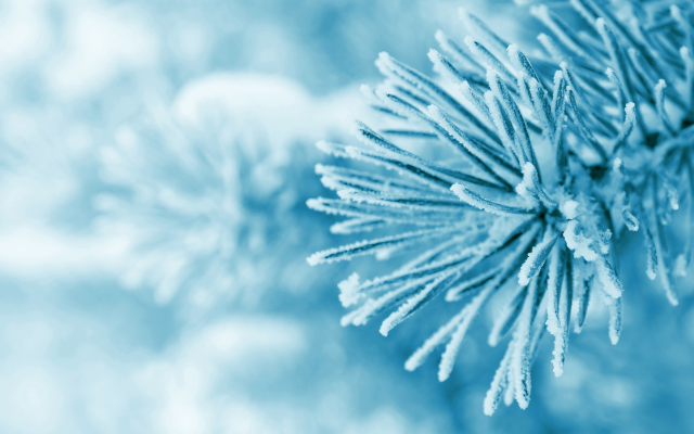 8352x5464 pix. Wallpaper macro, frost, trees, snow, winter, pines