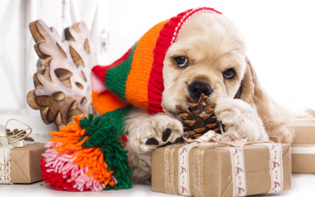 4086x2963 pix. Wallpaper american cocker spaniel, dog, christmas, new year, hat, cone