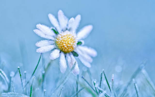 2400x1647 pix. Wallpaper daisy, frost, close-up, macro, flower, nature