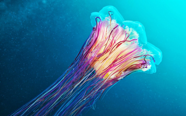 2048x1280 pix. Wallpaper jellyfish, underwater, animals, lions mane jellyfish, giant jellyfish, hair jelly, cyanea capillata