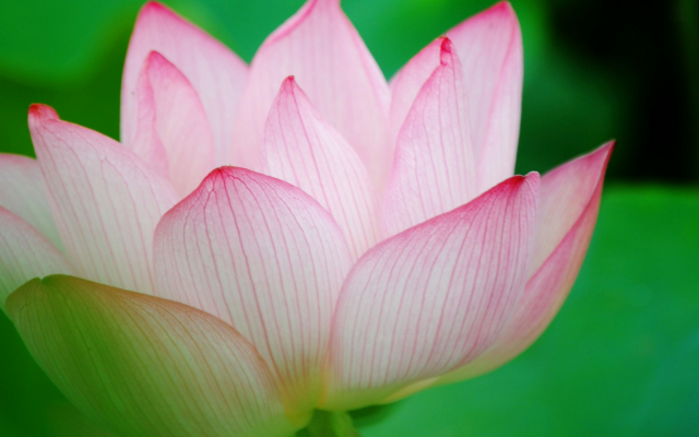2048x1280 pix. Wallpaper lotus, flower, petals, nature