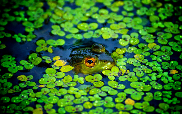 1920x1087 pix. Wallpaper frog, amphibian, animals, pond, duckweed