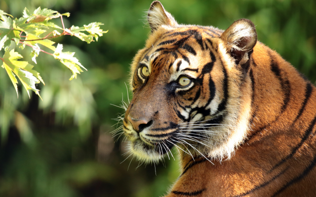 4400x2960 pix. Wallpaper sumatran tiger, tiger, animals, predator, snout