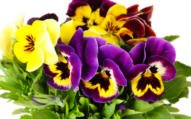 7000x4667 pix. Wallpaper flowers, pansies, wild pansy, viola tricolor, heartsease, hearts ease, hearts delight, tickle-my-fancy, jack-jump-up-and-kiss-me, come-and-cuddle-me, three faces in a hood, or love-in-idleness, nature