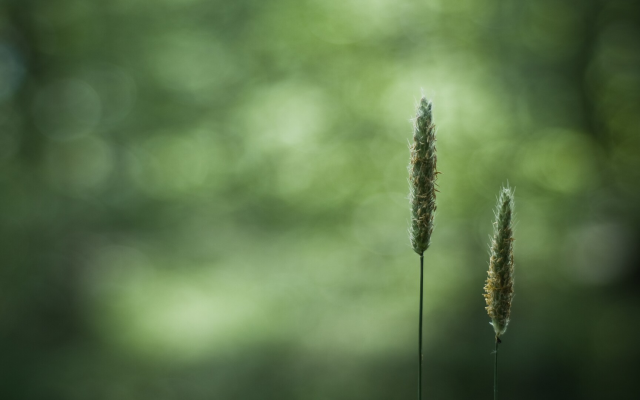 1920x1080 pix. Wallpaper wheat, closeups, macro, blurred, bokeh