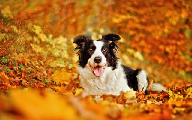 2048x1304 pix. Wallpaper border collie, dog, leaf, autumn, bokeh, fall, animals