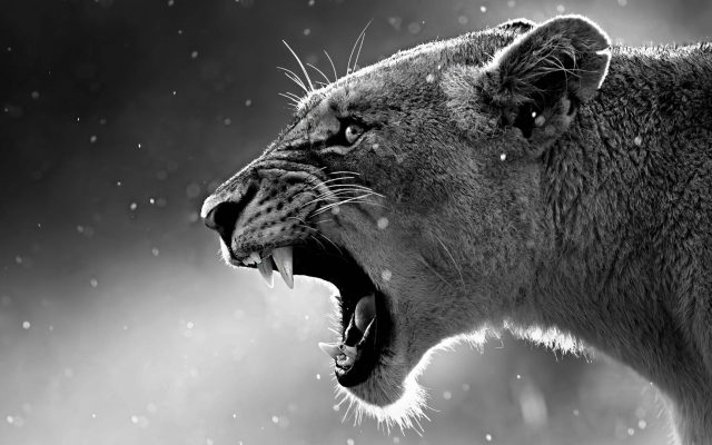 1920x1080 pix. Wallpaper lioness, jaws, teeth, lion, animals
