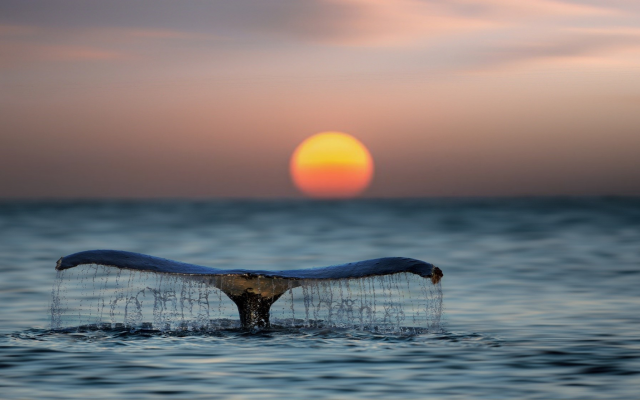2048x1117 pix. Wallpaper whale, tail, water, sea, ocean, sunset, sun, animals, nature