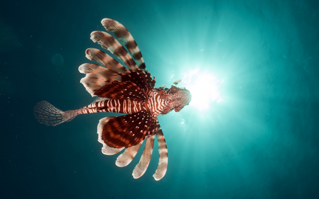 3744x2460 pix. Wallpaper fish, lionfish, underwater, animals, lion fish, sea