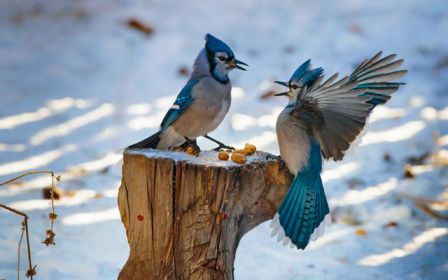 2112x1405 pix. Wallpaper jays, snow, stump, birds, animals, winter