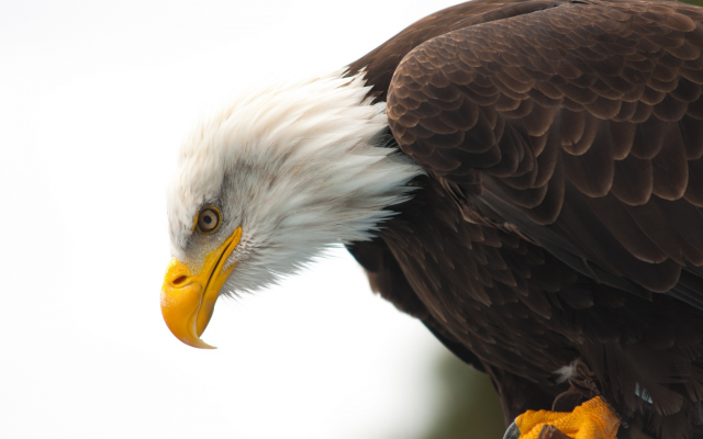 2048x1360 pix. Wallpaper bird, eagle, bald eagle, animals, beak