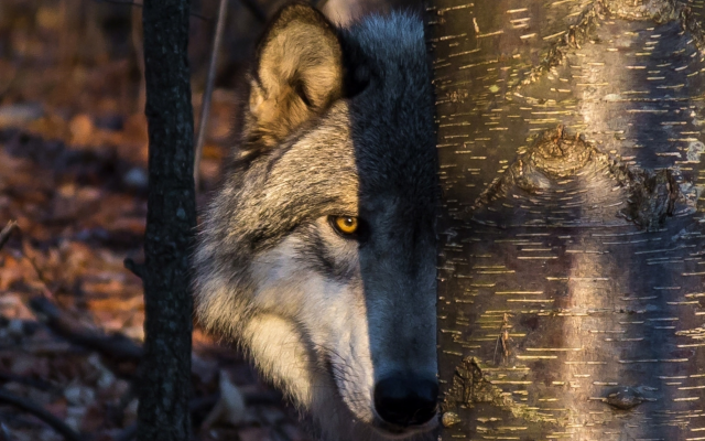 1920x1229 pix. Wallpaper wolf, animals, predator, tree, trunk, look