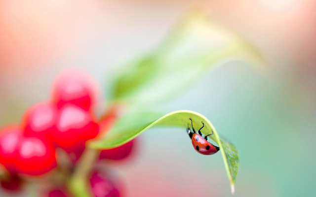 2000x1333 pix. Wallpaper macro, plant, leaf, ladybug, insect, animals