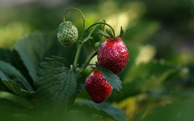 2000x1301 pix. Wallpaper strawberry, berry, spring, macro photo