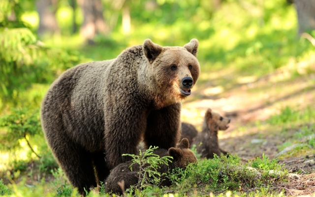 6800x4525 pix. Wallpaper animals, cub, bear, bear cub, brown bear