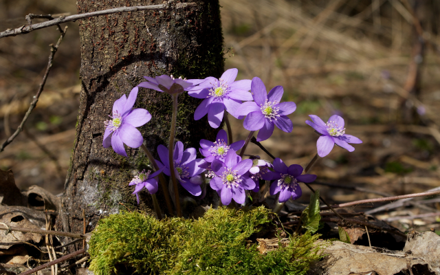 3711x2466 pix. Wallpaper flowers, tree, spring, moss, primroses, sunlight, liverwort, nature