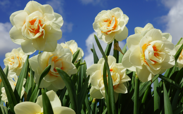 3840x2364 pix. Wallpaper nature, spring, flowers, daffodils