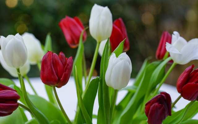 7360x4912 pix. Wallpaper tulips, red tulips, white tulips, bouquet, snow, spring, flowers