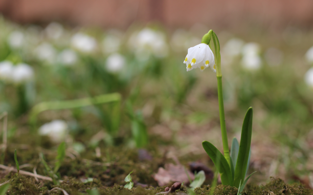 5184x3456 pix. Wallpaper spring, bokeh, macro, flowers, snowdrops, nature