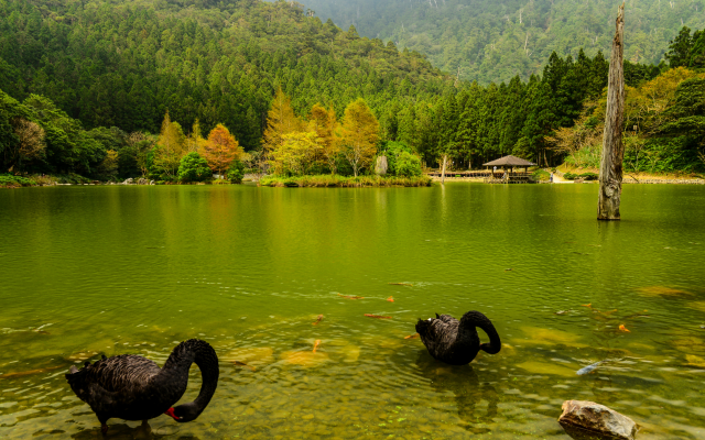 4000x2560 pix. Wallpaper japan, nature, landscape, autumn, river, forest, birds, swan, black swan