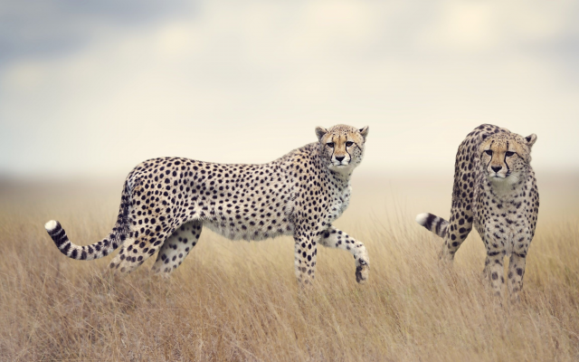 2560x1440 pix. Wallpaper cheetah, animals, field