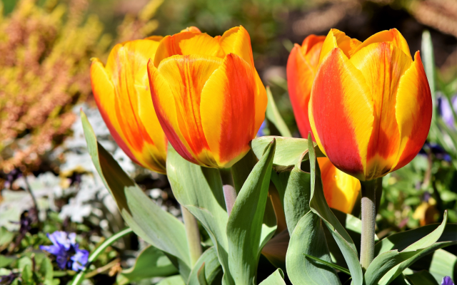 4839x3336 pix. Wallpaper tulips, flowers, leaves, spring, nature