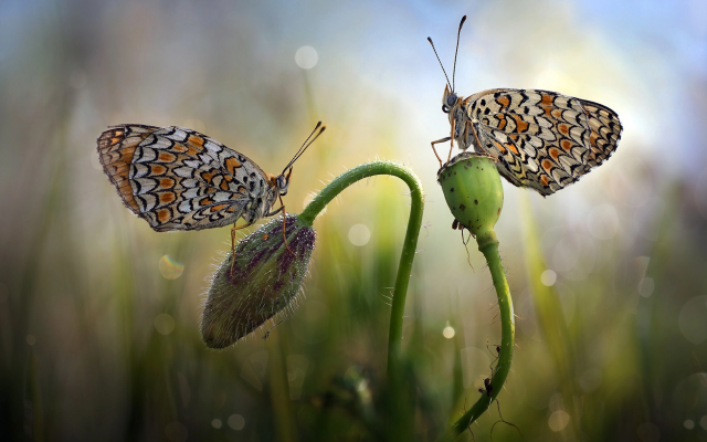 1949x1301 pix. Wallpaper nature, macro, grass, flower, bud, butterfly, couple, bokeh, insects, animals
