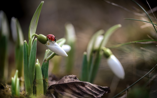 1920x1282 pix. Wallpaper nature, macro, spring, primroses, flowers, snowdrops, ladybug, insects, animals
