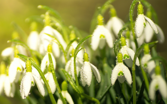3500x2333 pix. Wallpaper spring, flowers, primroses, snowdrops, water drops, macro, nature