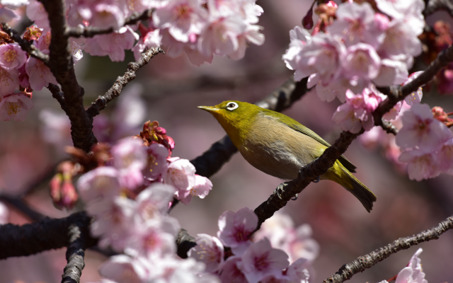 7360x4912 pix. Wallpaper zosterops, nature, spring, bloom, branches, birds, bird, white eye, white-eyed, sakura, typical white-eyes