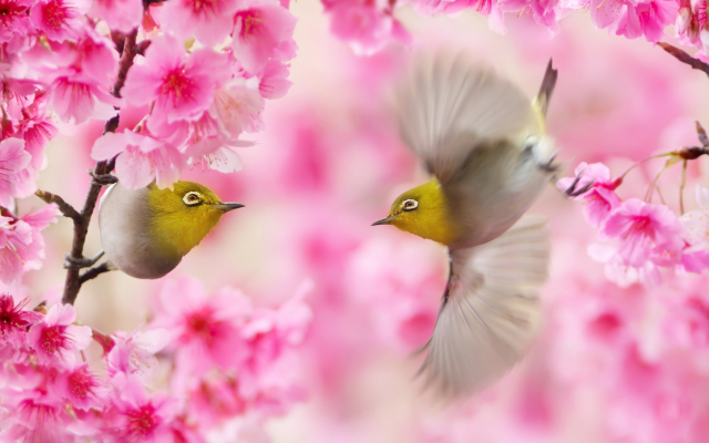2048x1365 pix. Wallpaper spring, twigs, taiwan, birds, white eyes, sakura, flowers, animals, nature, common nightingale, nightingale