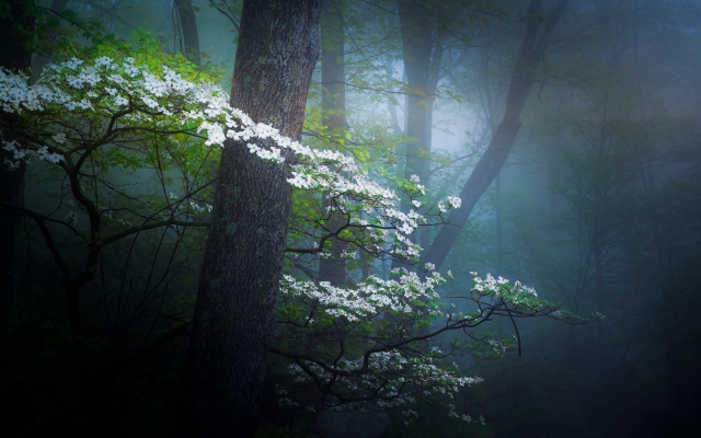 2048x1236 pix. Wallpaper nature, spring, forest, haze, fog, trees, bloom, flowers