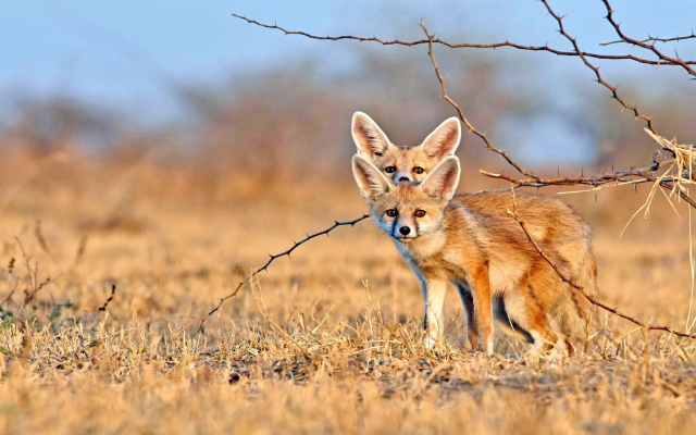 3840x2160 pix. Wallpaper foxe, fenec, dry grass, animals, fennec fox