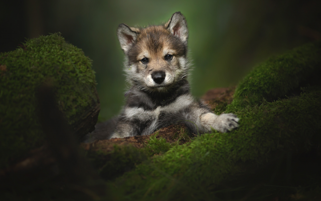2048x1365 pix. Wallpaper animals, puppy, cub, tamaskan, moss, tamaskan dog