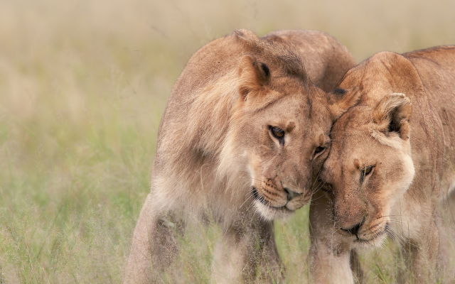 1980x1300 pix. Wallpaper wildlife, africa, lion, lioness, tenderness, predators, animals