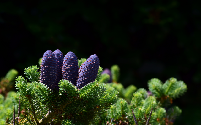 5992x3888 pix. Wallpaper nature, branches, needles, spruce, fir, cones