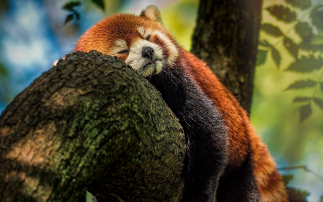 2200x1238 pix. Wallpaper red panda, panda, animals, tree