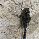 dragonflies, insect, macro, depth of field wallpaper