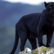 panther, big cats, animals, Black Panther, nature wallpaper