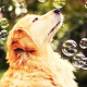 dog, animals, bubbles, golden retrievers wallpaper