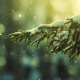 snow, winter, pine, tree wallpaper